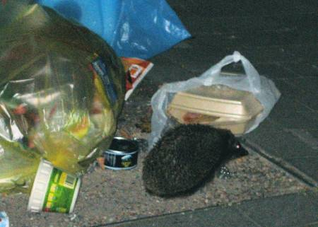 hedgehog next to some rubbish