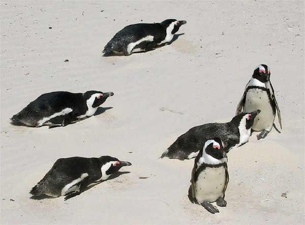 Penguins laying in sand