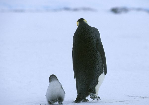 Grown up and Baby Penguin marching