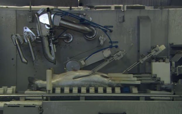 Machine opening and cleaning a fish